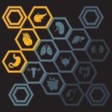 Iconos del vector fijados de órganos humanos internos Stock de ilustración