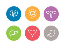 Iconos humanos de los órganos internos del vector Hígado, riñones, útero, vejiga, estómago y dos puntos Imagen de archivo