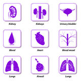 Icons internal human organs for infographic stock illustration