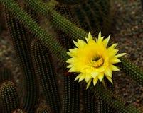 Icosagonus de Cleistocactus Borzicactus Foto de archivo