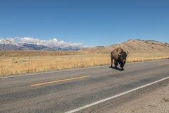 ICrossing δρόμος βισώνων σε ένα τοπίο Teton Στοκ Εικόνες