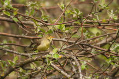 Icterine Warbler. On a branch in spring Royalty Free Stock Photo