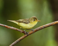 Icterine Warbler, Hippolais icterina Royalty Free Stock Photo