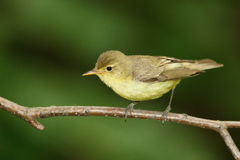 Icterine Warbler, Hippolais icterina Royalty Free Stock Images