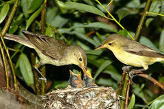 Icterine Warbler, Hippolais icterina by the Nest Royalty Free Stock Image