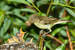 Icterine Warbler, Hippolais icterina by the Nest Stock Images