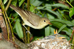 Icterine Warbler, Hippolais icterina by the Nest Royalty Free Stock Photo