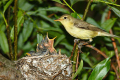Icterine Warbler, Hippolais icterina by the Nest Royalty Free Stock Photos