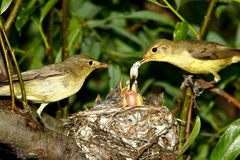 Icterine Warbler, Hippolais icterina by the Nest Royalty Free Stock Images