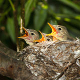 Icterine Warbler, Hippolais icterina. Nest Royalty Free Stock Photos