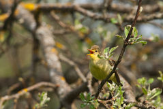 Icterine Warbler. Singing on a branch in spring Stock Photo