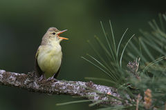 Icterine Warbler wykonuje aria dla wiosny zdjęcie royalty free