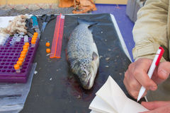Ichthyology of a salmon stock photos