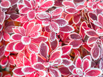 Icy barberry leaves Royalty Free Stock Images