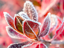 Icy barberry leaves Royalty Free Stock Image