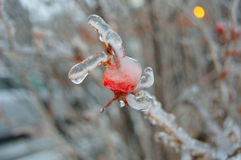Icy Berry 5. A Photograph of ice dripping off of a berry hanging on a tree after a freezing rain storm Stock Image