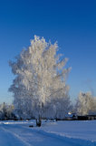 Icy birch Stock Images