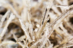 Icy blades of grass on a winter day Royalty Free Stock Image