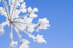 icy blomma Royaltyfri Foto