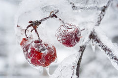 Icy branch with crab apples Stock Images