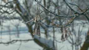 Icy branch of tree. On wind, shallow depth of field stock video footage