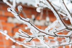 Icy branches of apple trees Stock Photos