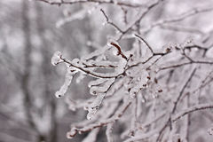 Icy branches Stock Images