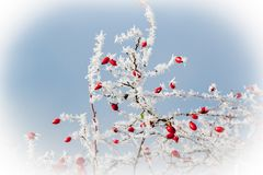 Icy branches dog rose Stock Images