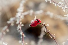 Icy branches dog rose Royalty Free Stock Image