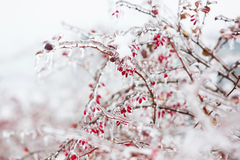 Icy branches with red berries of barberry after freezing rain Royalty Free Stock Photography