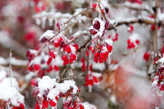Icy branches with red berries of barberry after freezing rain Royalty Free Stock Photos