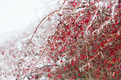 Icy branches with red berries of barberry after freezing rain Stock Photo