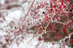 Icy branches with red berries of barberry after freezing rain Stock Photography