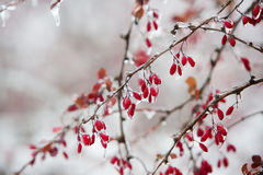 Icy branches with red berries of barberry after freezing rain Stock Photos