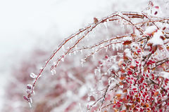 Icy branches with red berries of barberry after freezing rain Royalty Free Stock Images
