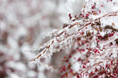 Icy branches with red berries of barberry after freezing rain Royalty Free Stock Photo