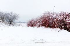 Icy branches with red berries of barberry after freezing rain Stock Images