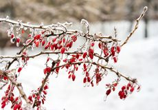 Icy branches with red berries of barberry Stock Photography