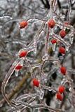 Icy bush. Icy hip bush after ice rain royalty free stock image