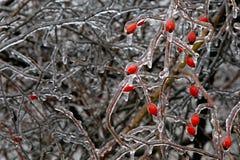 Icy bush. Icy hip bush after ice rain stock photo