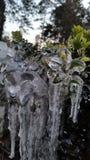icy buske Arkivfoton