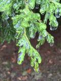 icy buske Arkivbilder