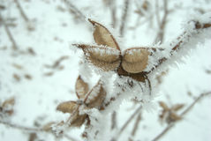 Icy cotton plants in winter. Closeup of frozen cotton plant stalks in winter Stock Photo