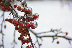 Icy Crab apple Royalty Free Stock Photography
