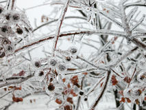 Icy Crepe Myrtle Stock Photography