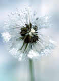 Icy dandelion. Close-up of detail on an icy dandelion. Color and blur sets the mood stock photography