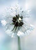 Icy dandelion Stock Photography