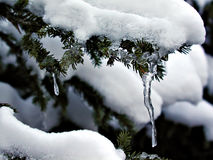 Icy drop. An ice floe on a branch of fir tree Stock Photos