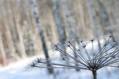 Icy dry plant. At winter forest (near Moscow, Russia Royalty Free Stock Photography