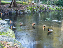 Icy duck pond in winter. Ice on the surface of a duck pond located in Lithia Park in Ashland, Oregon stock photography